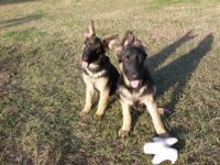 2 German Shepherd AKC registered girls trying to find