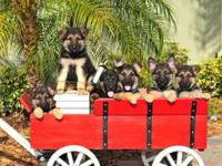 LOVELY QUALITY GERMAN SHEPHERDS PUPPIES * PARENTS ARE