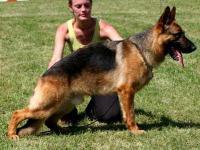 German shepherd male pup 100% working line, full AKC
