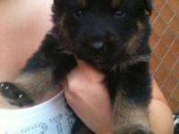 We have 3 week old German Shepherd and Rottweiler mix