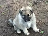 3/4 Shiloh Shepherd, 1/4 German Shepherd puppies, male