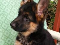 German Shepherd pick of the litter blk/red female. This