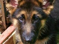 Beautiful AKC German Shepherd puppy. He is three months