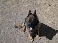looking for an AKC Czech German shepherd or East German