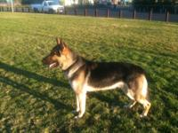 I have a German shepherd stud. He is 2 years old and