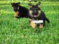 I have TOP QUALITY SHOW LINE German Shepherd puppies