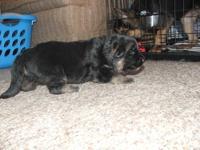 Wilma is a cute black and tan german shepherd female.