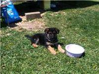 I have a female wolf german shepherd puppy looking for