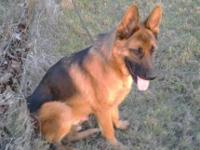 This boy is a awesome shepherd he is 8 months large