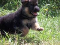 German Shepherds - Import lines (Batu) Puppies Blk/Red.
