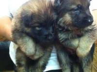 We have two beautiful AKC Registered Red Sable German
