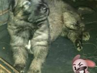 German Shepherds i have 5 males only for more