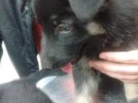 Beautiful German Shepherd Puppies! Male and Female