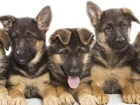 Few dogs have such ardent fans as the German Shepherd,