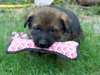We have 2 litters of working line german shepherd