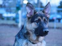 Hi I am the owner of Radon ( German Shepherd ) and I am