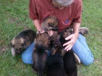 have 6 german sheppards puppies . 4 males 1 female