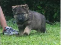 8 week old German Shepard puppies, 2 female & & 3 males