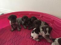 I have 1 female and 3 male German shorthair pointer