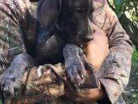 Have 1 male German shorthair pointer pup left born July