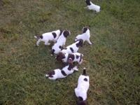 This litter of GSP comes from Beaver Creek Plantation