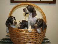 German Shorthaired Pointer Pups, sire is AKC Registered