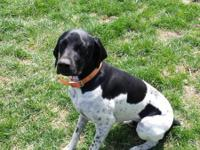 German Shorthair pointer for sale. He is a neutered 1