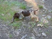 German Shorthair Pointer Puppies. 9 weeks old. Whelped
