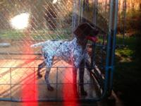AKC registered German shorthair guidelines. Parents