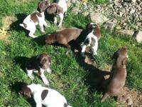 AKC registered German shorthair pointer puppies. Come