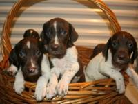 German Shorthaired Pointer Pups AKC, Champion Sired,