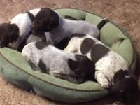 I have a litter of German Shorthair Pointer pups,