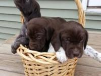 Young puppies due the week of Halloween ready in the