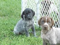 2 litters of AKC registered German Shorthair pointer