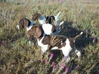 German Shorthaired Pointer Up for adoption AKC Solid