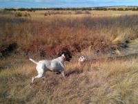 German Shorthaired Pointer - Basil T. Bone - Large -