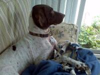 German Shorthaired Pointer - Bozo - Large - Adult -