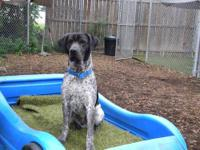 German Shorthaired Pointer - Charlie - Medium - Adult -