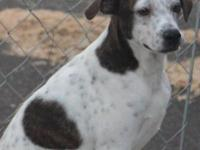 German Shorthaired Pointer - Cody - Large - Young -