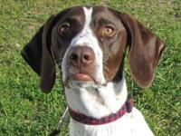 German Shorthaired Pointer - Finley - Medium - Adult -