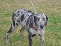 German Shorthaired Pointer - Gracie - Large - Adult -