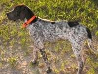 German Shorthaired Pointer - Lizzie - Medium - Young -