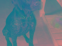 German Shorthaired Pointer - Maggie - Large - Young -