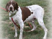 German Shorthaired Pointer - Mr. Peabody - Large -