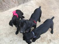 I have 4 German Shorthaired Pointer Puppies for sale. 2