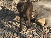 Purebred GSP male puppy ready for his new home now.