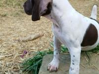 German Shorthaired Pointer, 9 weeks old, brown, white,