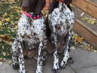 Beautiful Female puppy available, Stella & Loki Litter.