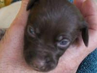 This liver roan pup is from a dam (Lillee)who is the