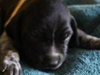 This black roan pup is from a dam (Ava)who is the the
